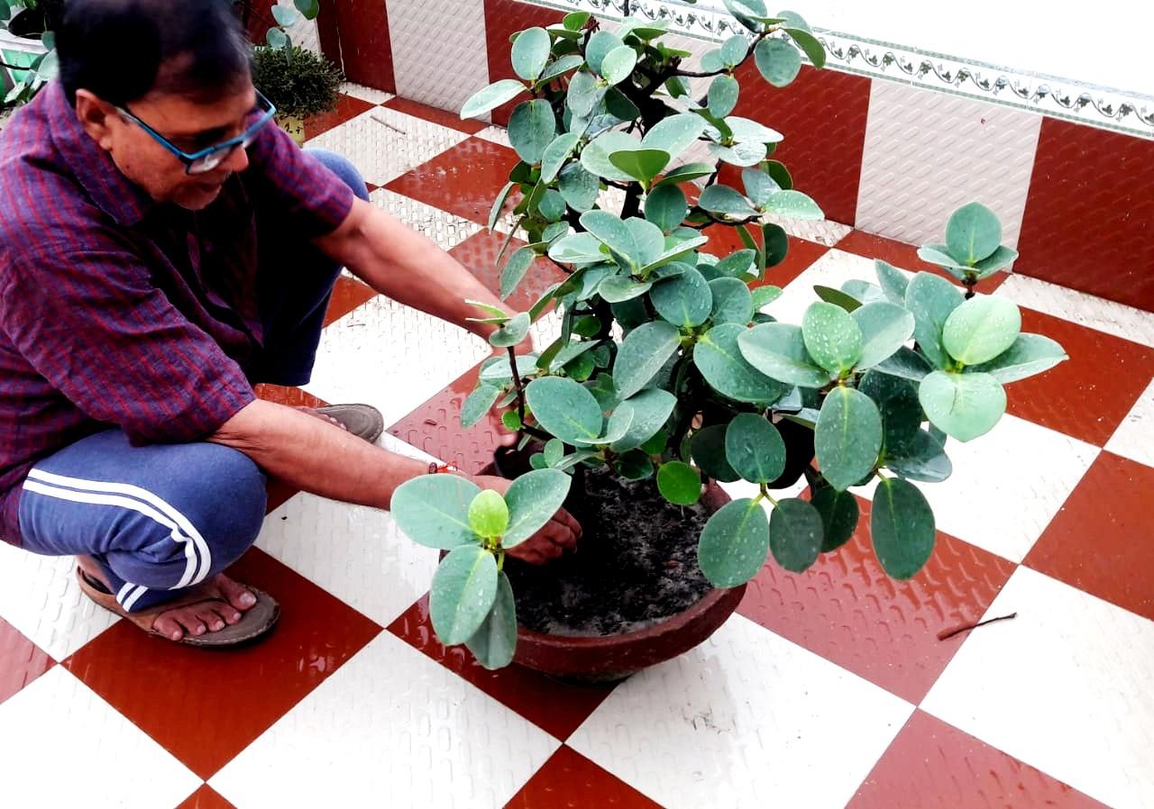 Dr.Madhepuri taking care of Banyan Bonsai at his terrace garden.